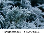 branch of junipers with frost | Shutterstock . vector #546905818