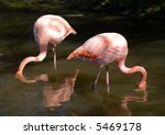 pair of pink flamingos feeding... | Shutterstock . vector #5469178