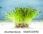fresh healthy seed sprouts ... | Shutterstock . vector #546923590