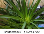 Close Up Of Ponytail Palm Tree...