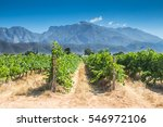 grape vines in a vineyard on a... | Shutterstock . vector #546972106