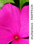 Small photo of Close up of deep pink vinca flower
