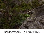 Small photo of Alpine pika mouse hiding on stones in high mountains in Altai, Russia