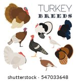 poultry farming. turkey breeds... | Shutterstock .eps vector #547033648