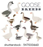Poultry Farming. Goose Breeds...