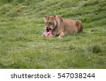 Lioness Eating Its Prey