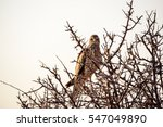 Small photo of African marsh harrier in a tree
