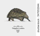 echidna tachyglossus aculeatus...