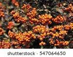 orange berries   Shutterstock . vector #547064650