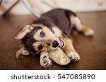 Stock photo little puppy nibble a raw bone 547085890