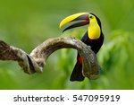 Stock photo bird with open bill chesnut mandibled toucan sitting on the branch in tropical rain with green 547095919