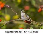 ruby throated hummingbird ... | Shutterstock . vector #54711508