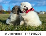 Stock photo little puppies pomeranian puppies playing outdoor pomeranian spitz dog 547148203