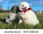 Stock photo little puppies pomeranian puppies playing outdoor pomeranian spitz dog 547148203