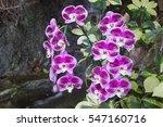 beautiful orchid flowers... | Shutterstock . vector #547160716