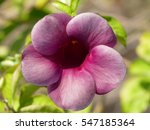 Small photo of Allamanda is a flowering plants, they are native to the Americas, where they are distributed from Mexico to Argentina. Allamanda species have been used in traditional medicine.