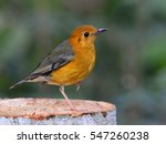 orange headed thrush  geokichla ... | Shutterstock . vector #547260238