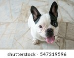 Stock photo french bulldog dog sitting looking at the camera 547319596