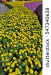 Small photo of Field of Marigolds (Tagetes erecta, Mexican marigold, Aztec marigold, African marigold) in a garden on a sunny day