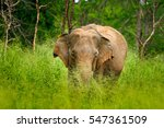 Asian Elephant  Elephas Maximu...