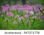 pink flower in the green field  ...   Shutterstock . vector #547371778