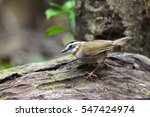 Small photo of The rufous-throated fulvetta (Alcippe rufogularis) is a species of bird in the Pellorneidae family. It is found in the Indian subcontinent and Southeast Asia.