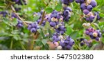 Blueberry Fruit On The Bush