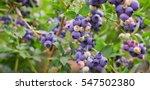 blueberry fruit on the bush | Shutterstock . vector #547502380