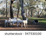 Small photo of A flock of sheep being herded by a sheep dog.