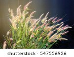 the clump flower of grass... | Shutterstock . vector #547556926