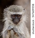 Vervet Monkey portrait shot.