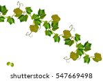 the branch of grapes isolated... | Shutterstock . vector #547669498