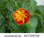 Close Up Of African Marigold...