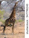 south african giraffe in kruger ... | Shutterstock . vector #547798240