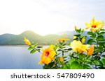 Yellow Hibiscus Flowers For...