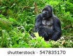a silverback mountain gorilla... | Shutterstock . vector #547835170