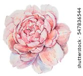 red or pink peony flower... | Shutterstock . vector #547836544