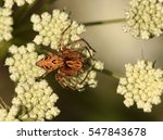 Small photo of Lynx spider - Oxyopes (Oxyopidae) make little use of webs, instead spending their lives as hunting spiders on plants. Many species frequent flowers in particular, ambushing pollinators.