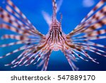 The Lionfish Face In Aquarium...