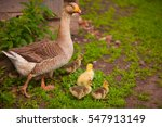 Adult Goose With Goslings...