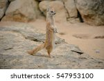 A Yellow Mongoose Is Standing...