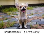 Chihuahua Dog On The Cement...