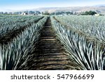 agave tequila landscape to... | Shutterstock . vector #547966699