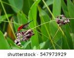 a crimson sunbird feeding on... | Shutterstock . vector #547973929