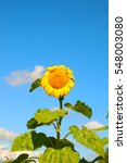 Small photo of Sunflower with big leaves in foreground with a bright sky blue background and clouds lingering afloat