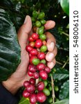 coffee beans ripening on a tree. | Shutterstock . vector #548006110