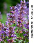Salvia Officinalis Sage