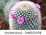 cactus family  pink red flowers ... | Shutterstock . vector #548025358