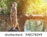 Meerkat Stay Over Stump Look A...