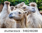 two bactria camels in the zoo | Shutterstock . vector #548248288